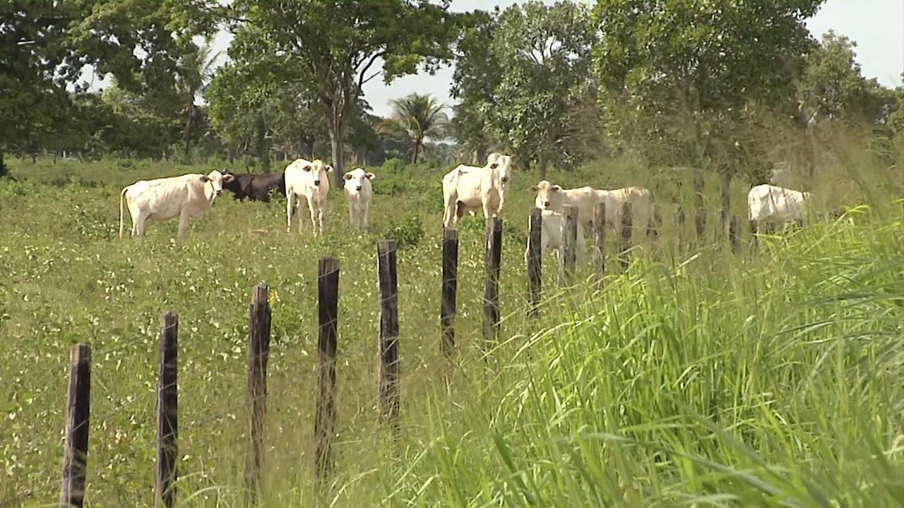 Vacinação contra a febre aftosa ainda é lenta no Vale do Pindaré