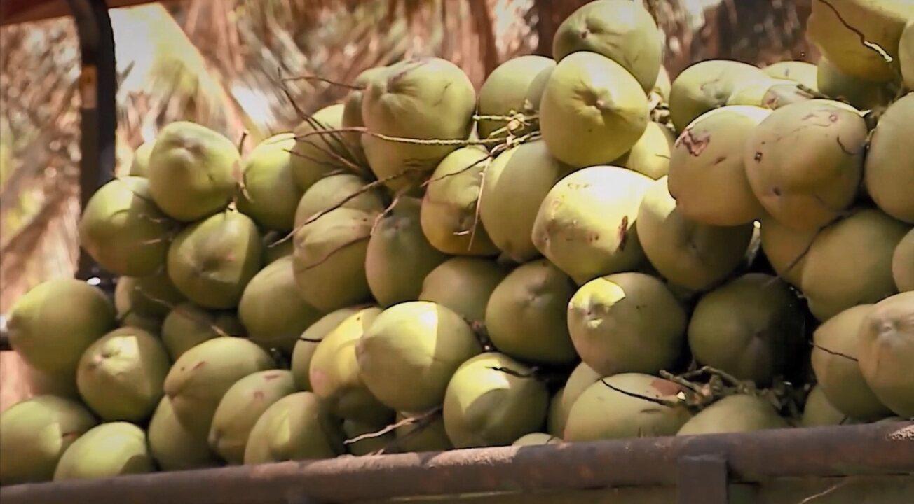Trazida pelos portugueses, indústria do coco fatura mais de R$ 1 bi por ano no Brasil
