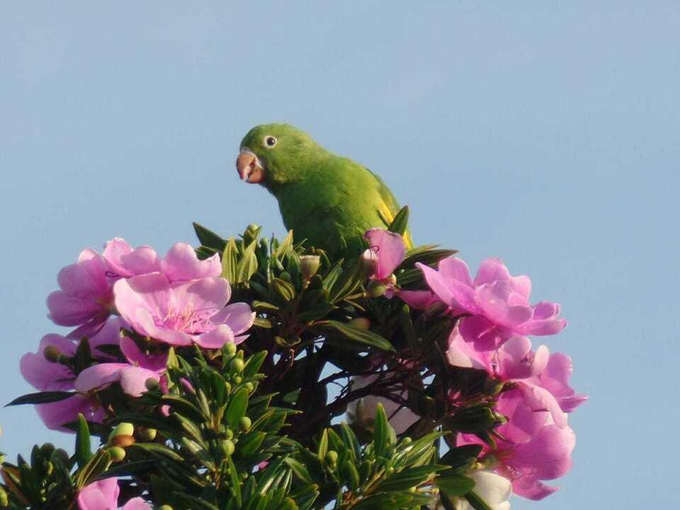 O periquito-de-encontro-amarelo se destaca com a plumagem verde e a faixa amarela na asa