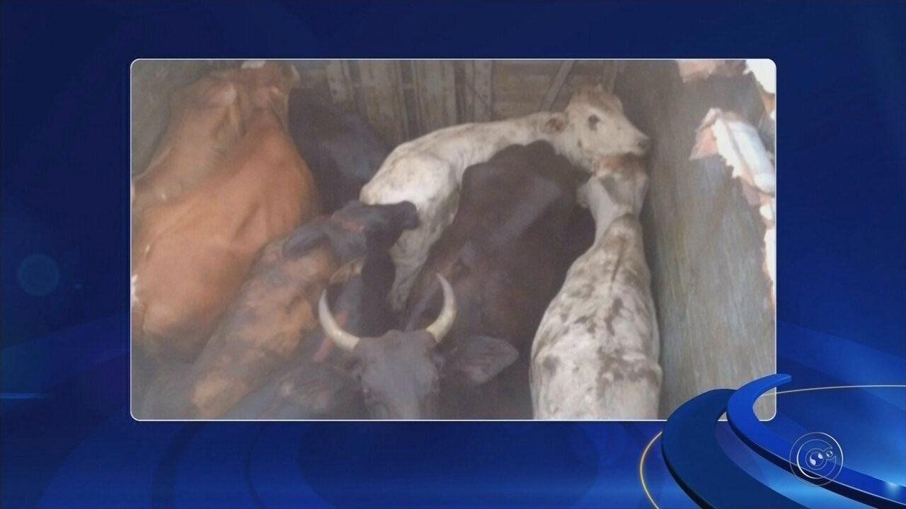 Quadrilha responsável por furtar cabeças de gado é presa em Itapeva