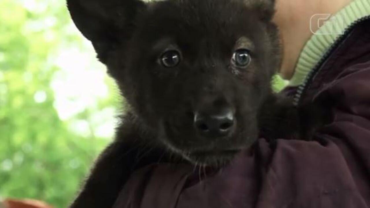 Copa do Mundo: filhotes de lobo de zoológico na Rússia são chamados Fifa e Zabivaka