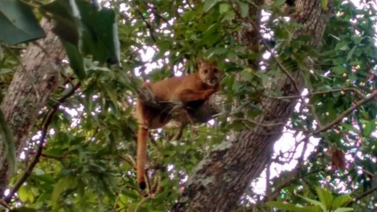 'Saí correndo', diz rapaz que registrou onça que subiu em árvore de sítio em Jaú