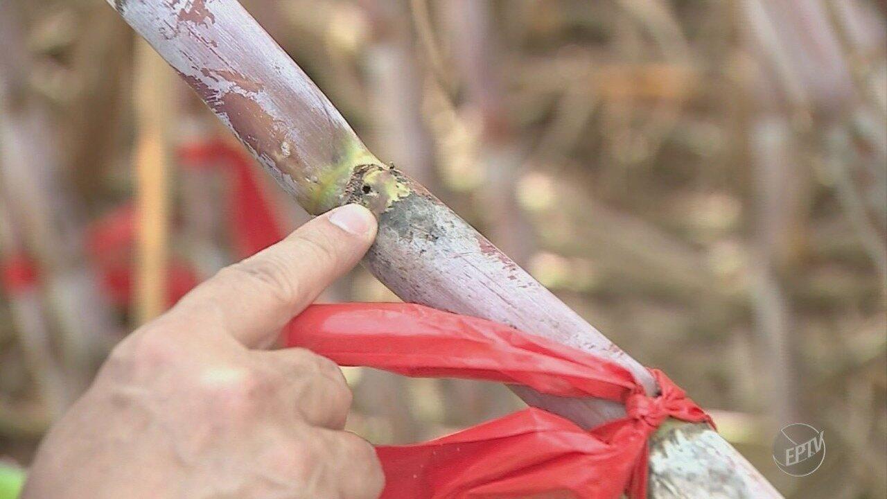Cana-de-açúcar transgênica desenvolvida em Piracicaba é resistente a pragas