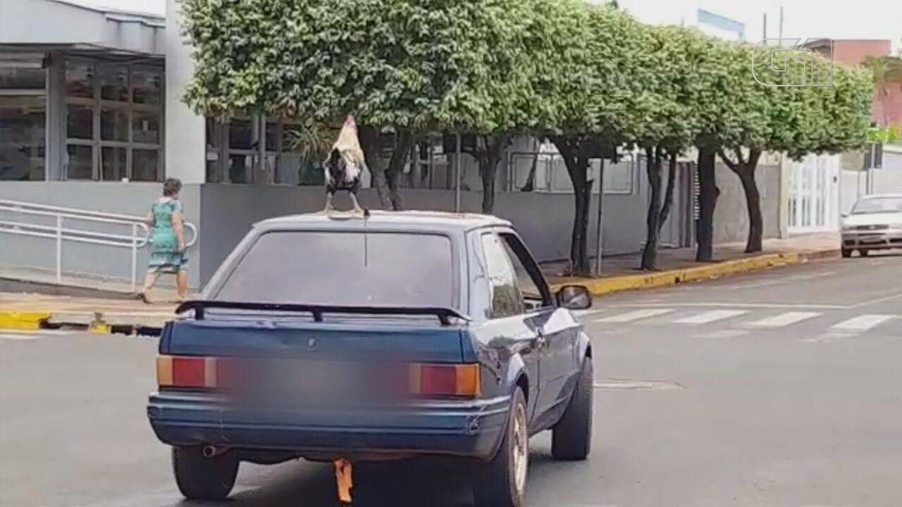 Galo vira atração ao passear no teto de carro em Castilho