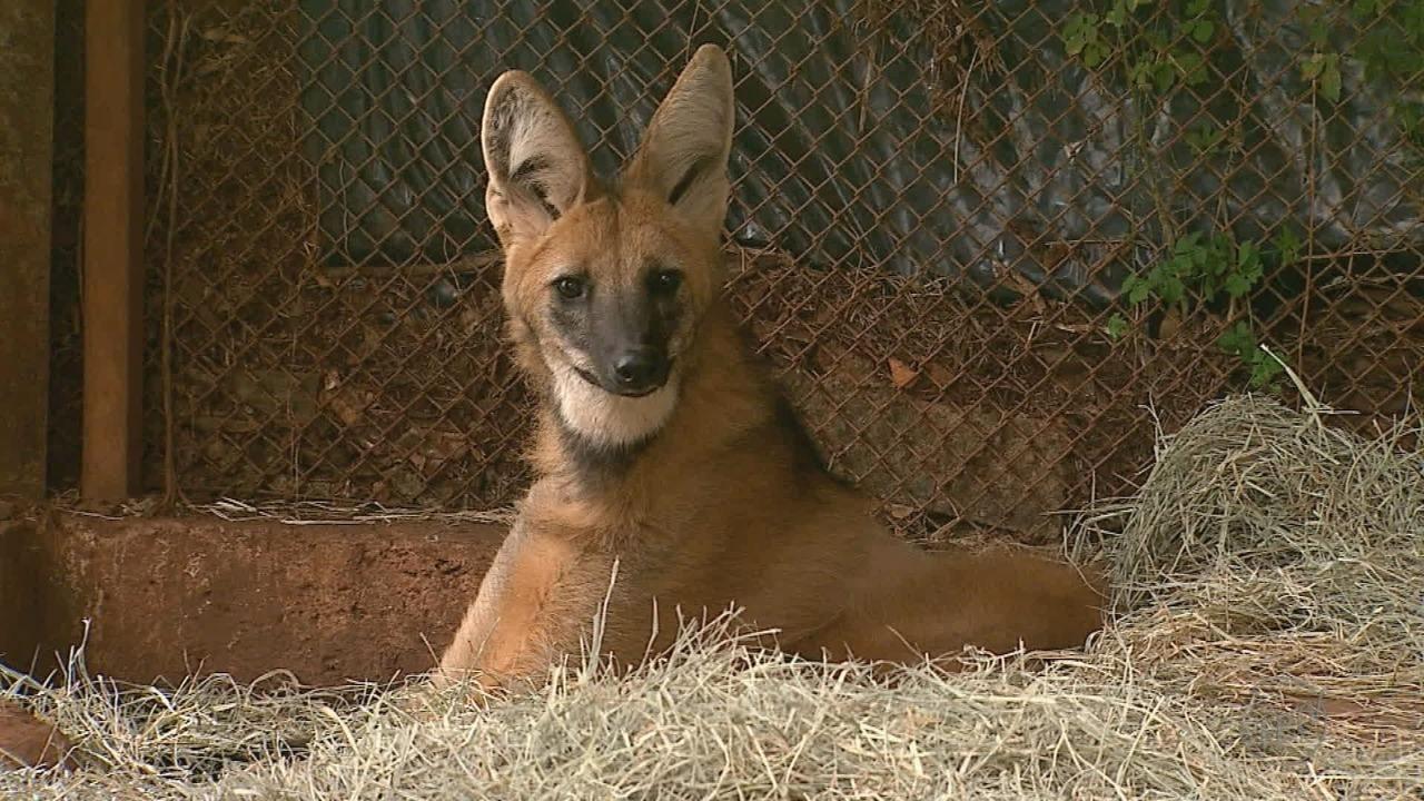 Mulher que resgatou fêmea de lobo-guará após atropelá-la reencontra animal, em Ribeirão