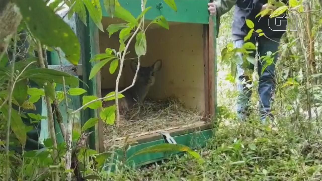 Cervo é resgatado pela equipe do GramadoZoo e devolvido à natureza
