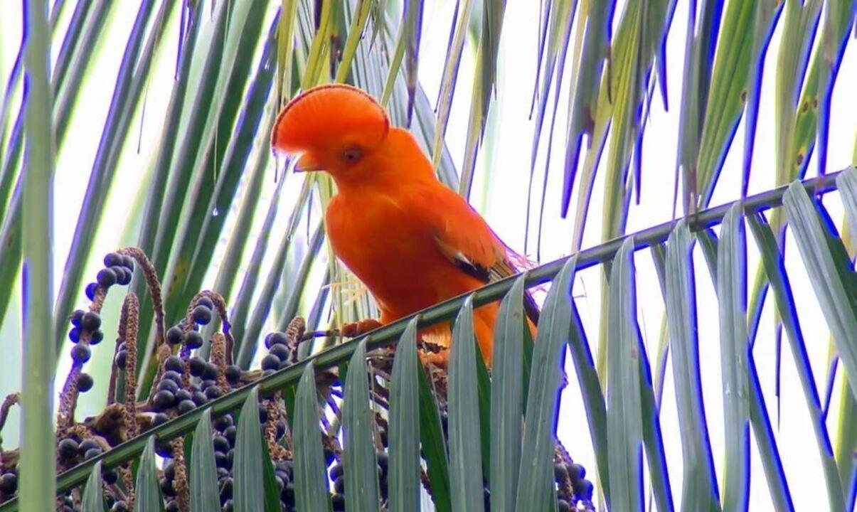 Aves brasileiras possuem penachos que parecem topetes