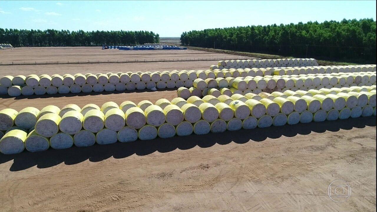 Investimento em tecnologia melhora a qualidade do algodão em MT
