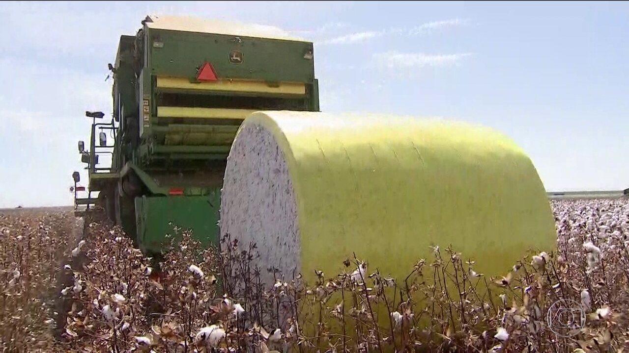 Brasil comemora safra recorde de algodão