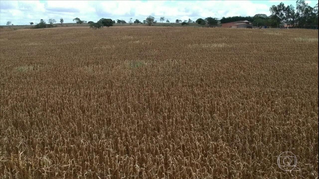 Seca provoca perdas em lavouras de milho de Sergipe