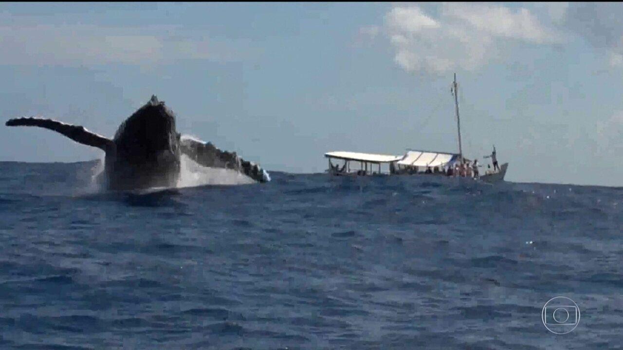 Votação para decidir volta da caça de baleias preocupa ambientalistas em Florianópolis