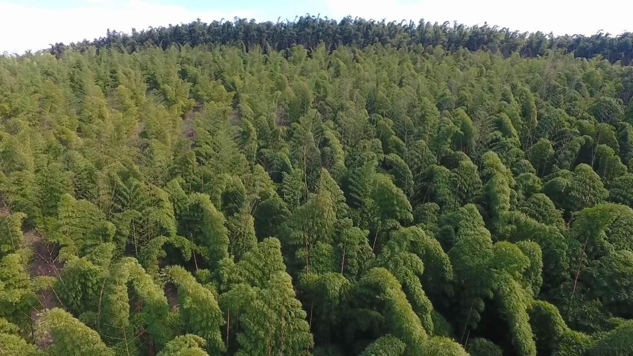 Uma plantação de bambus
