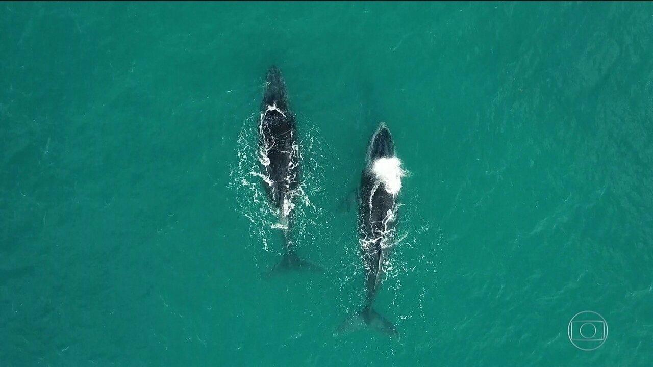 Pesquisadores usam drones na observação de baleias Jubarte na Bahia