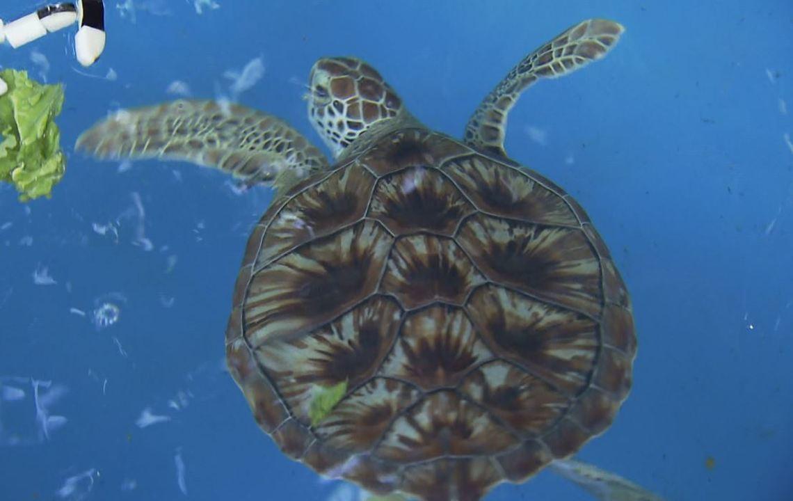 Existem cinco espécies diferentes de tartarugas marinhas no Brasil