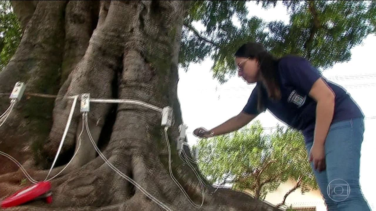 Árvores centenárias passam por tomografia em Campo Grande