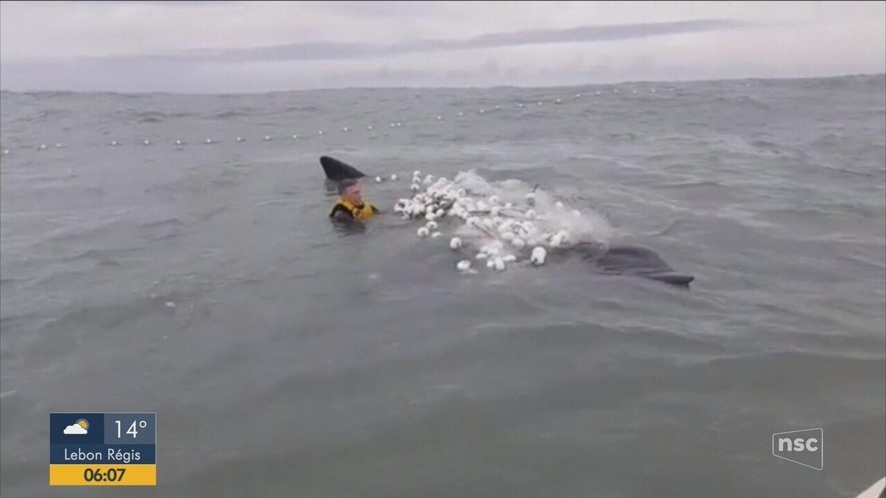 Morador se arrisca para salvar filhote de baleia em Laguna