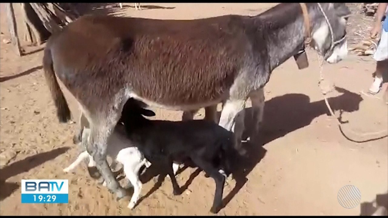 Jumenta 'adota' quatro filhotes de outras espécies que foram rejeitados pelas mães