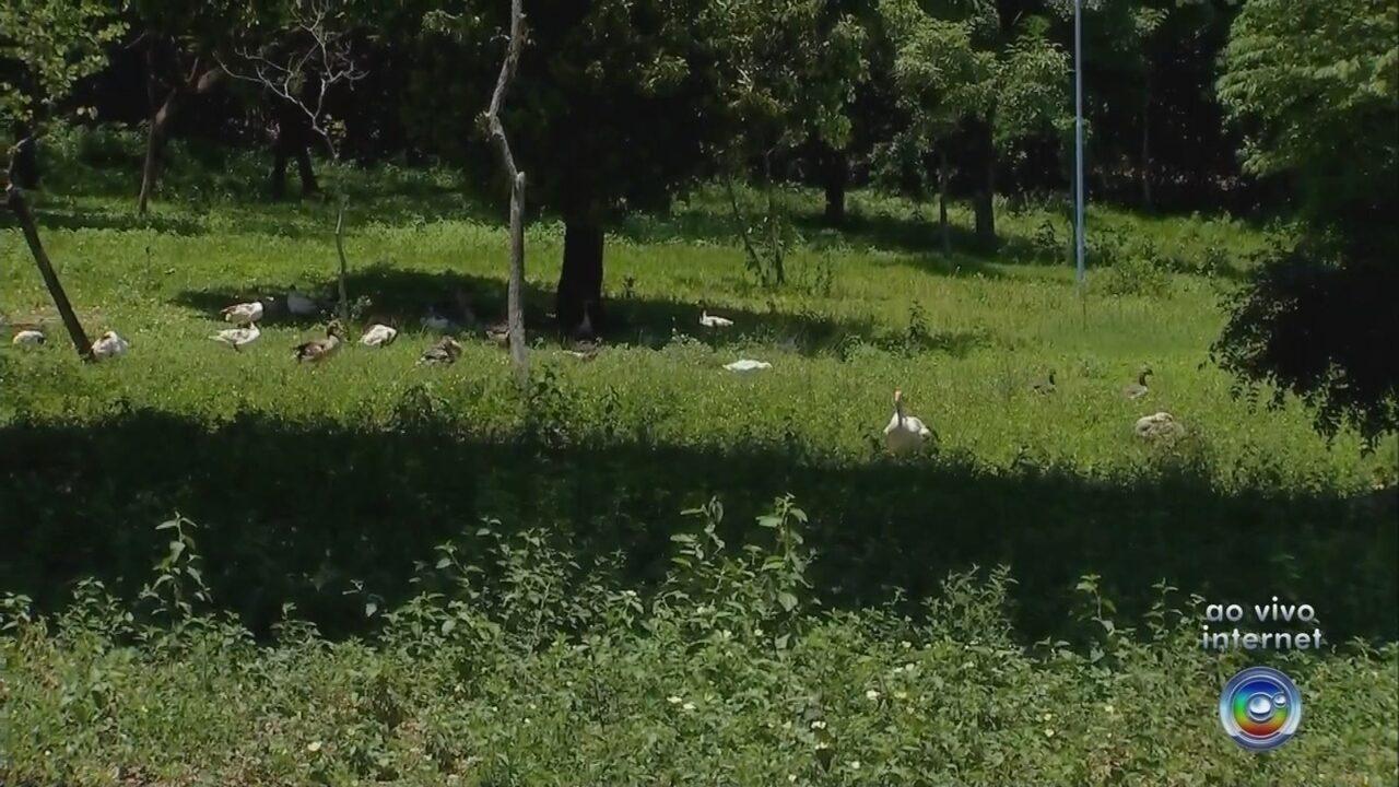 Morte repentina de patos em lagoa de Marília assusta moradores