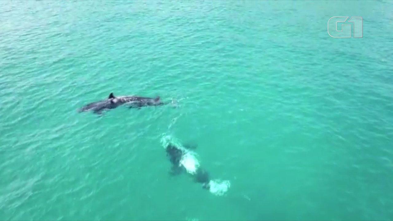 Grupo de orcas aparece em Arraial do Cabo