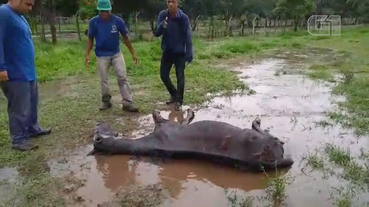 Cavalo vítima de maus-tratos é sacrificado em Catanduva