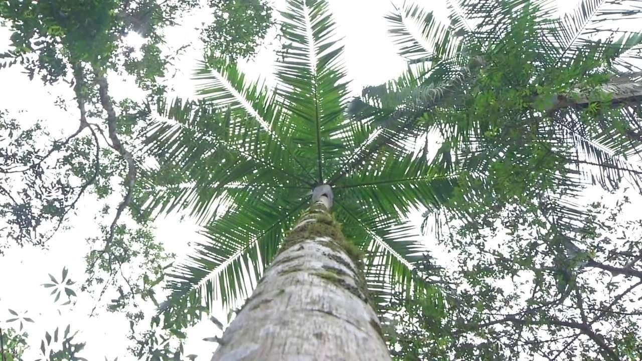 Projeto de reflorestamento da palmeira juçara