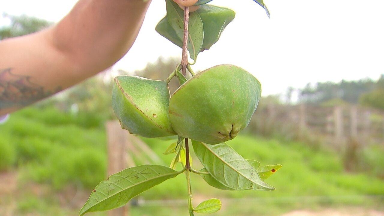 Produtores apostam no cultivo do cambuci