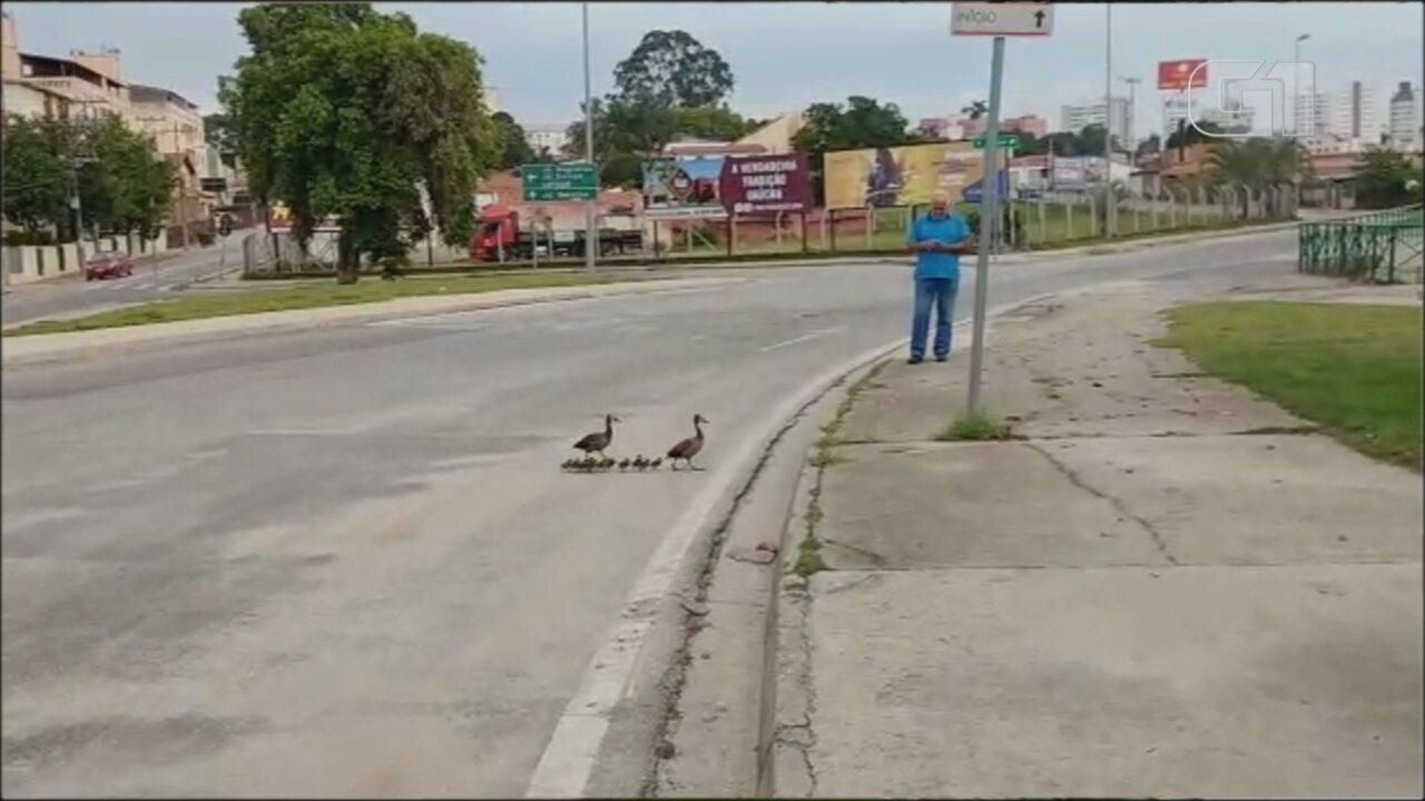 Família de patos interrompe trânsito e atravessa avenida em Sorocaba