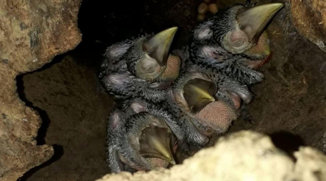 Gerente administrativo monitorou ninho de tucano-de-bico-verde por 48 dias