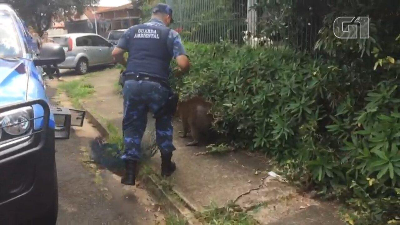 Capivara escondida em arbusto é resgatada em Botucatu