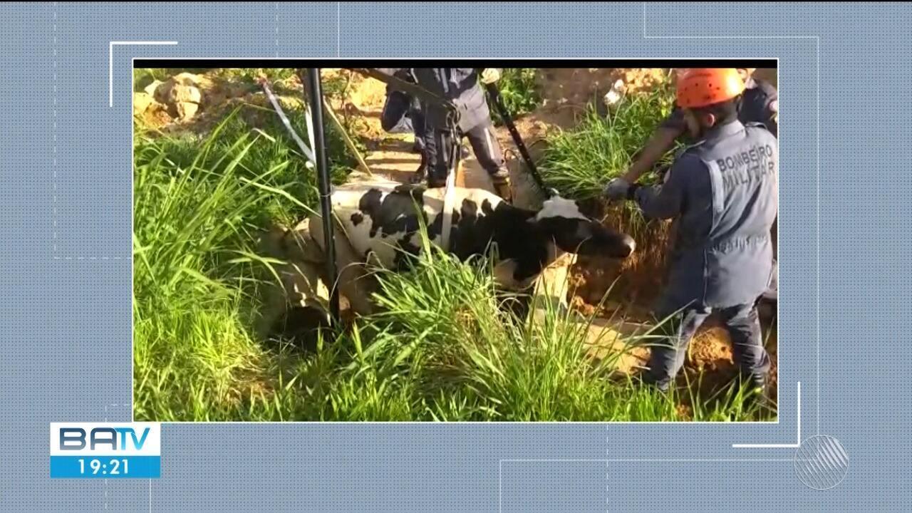Vaca é resgatada após cair em bueiro com dois metros de profundidade