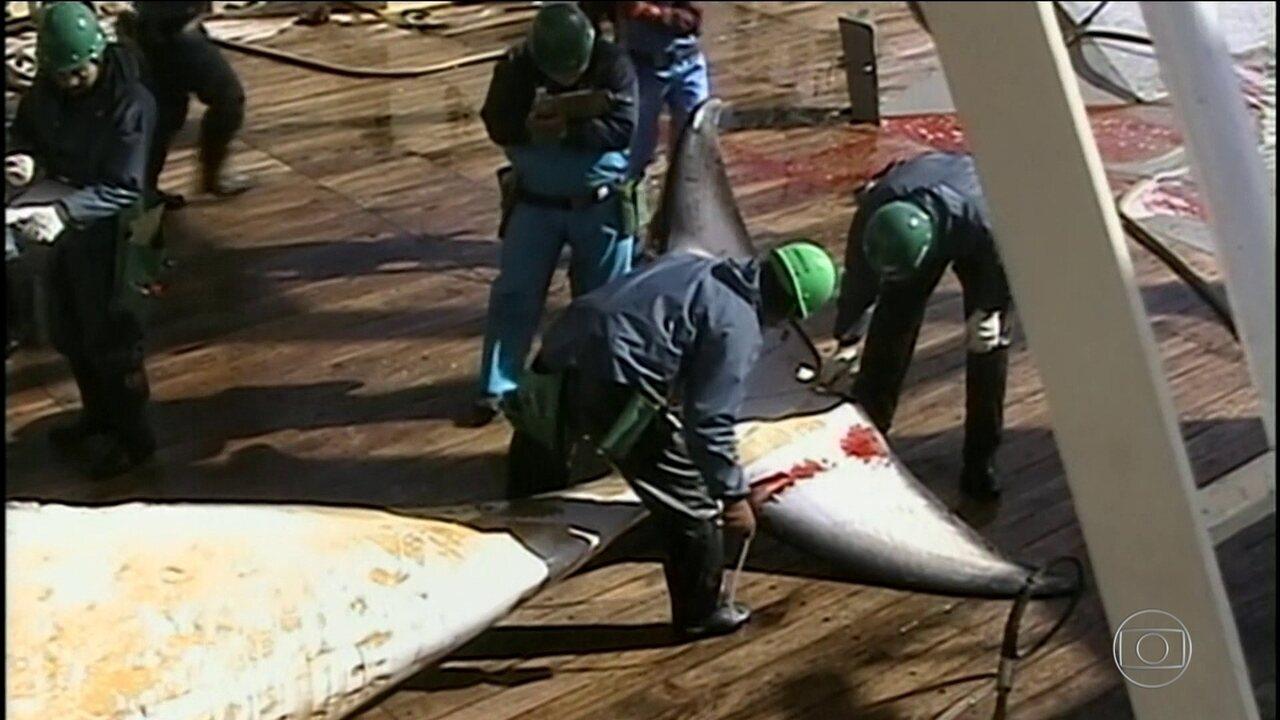Japão anuncia retomada da caçada comercial de baleias