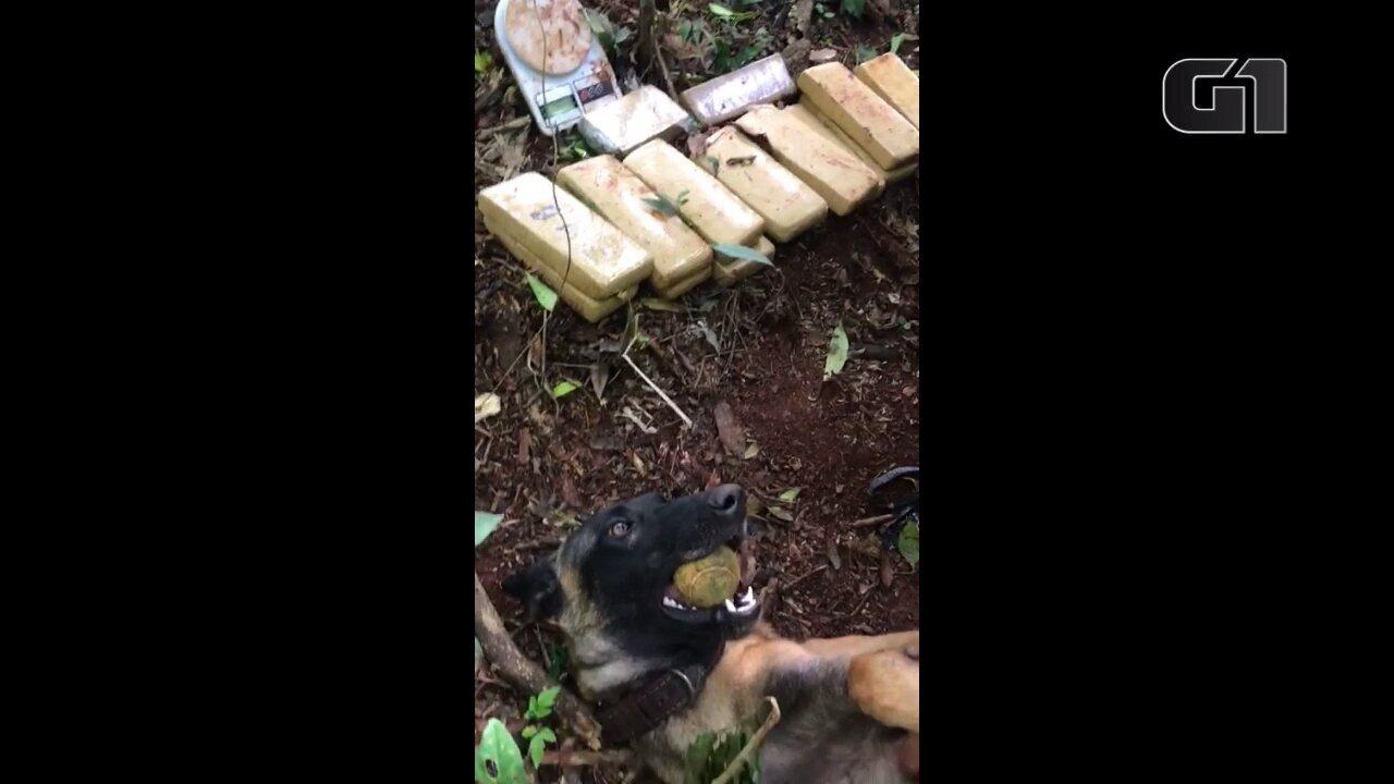 Cachorro da PM encontra 11,5 kg de maconha enterrados em Londrina