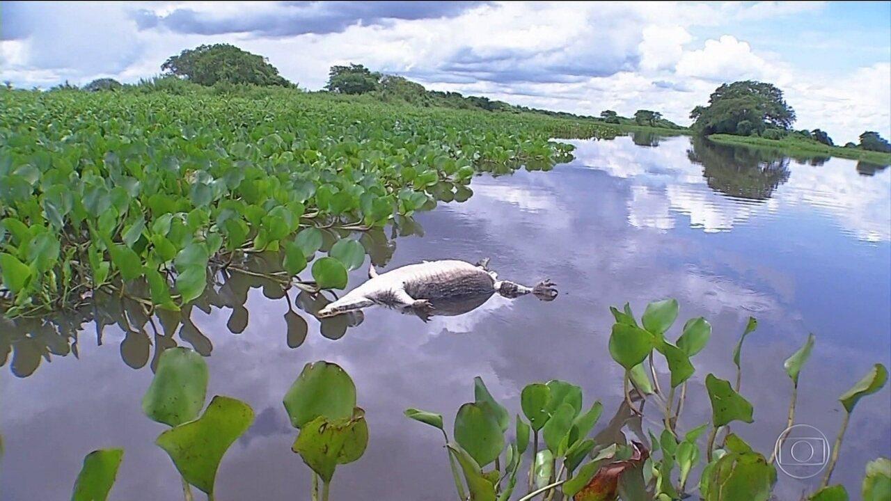Carcaças de Jacaré no Pantanal de MS preocupam ambientalistas