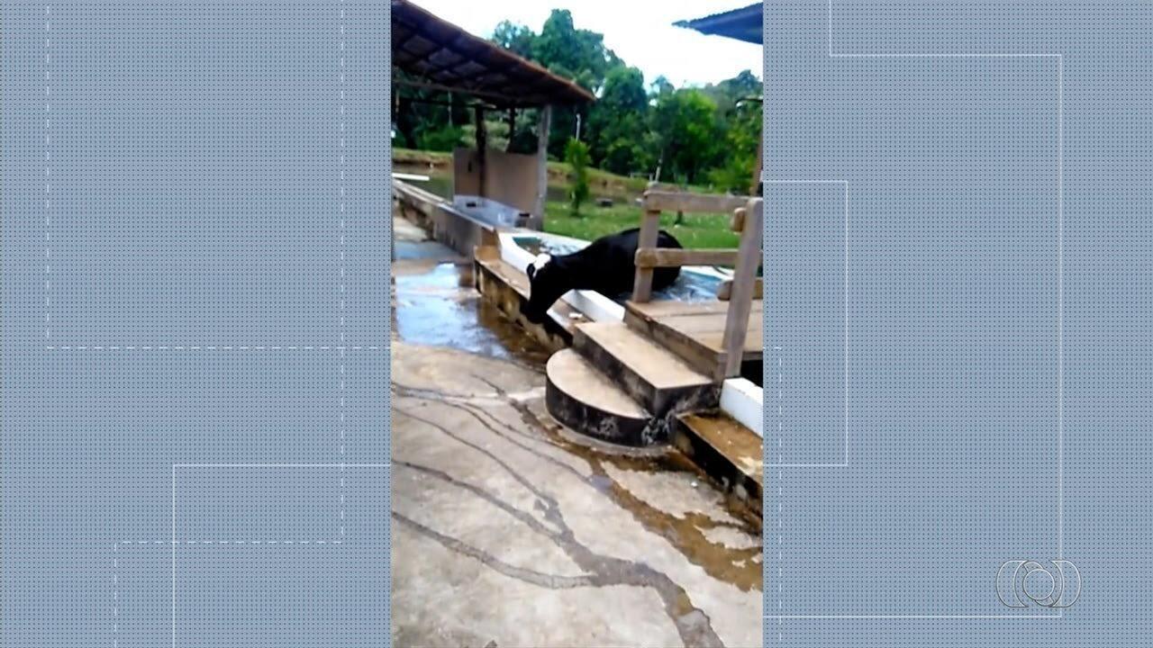Vaca se refresca em piscina de Vianópolis
