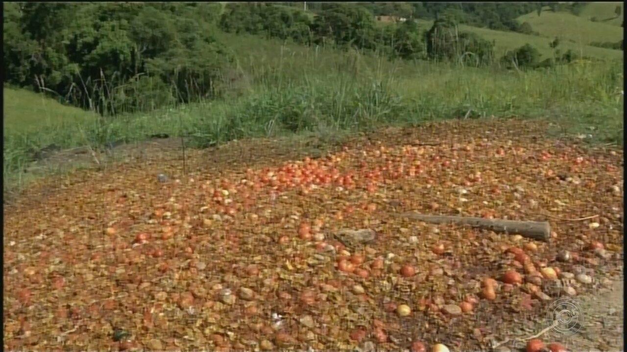 Agricultores descartam toneladas de tomates em Ribeirão Branco