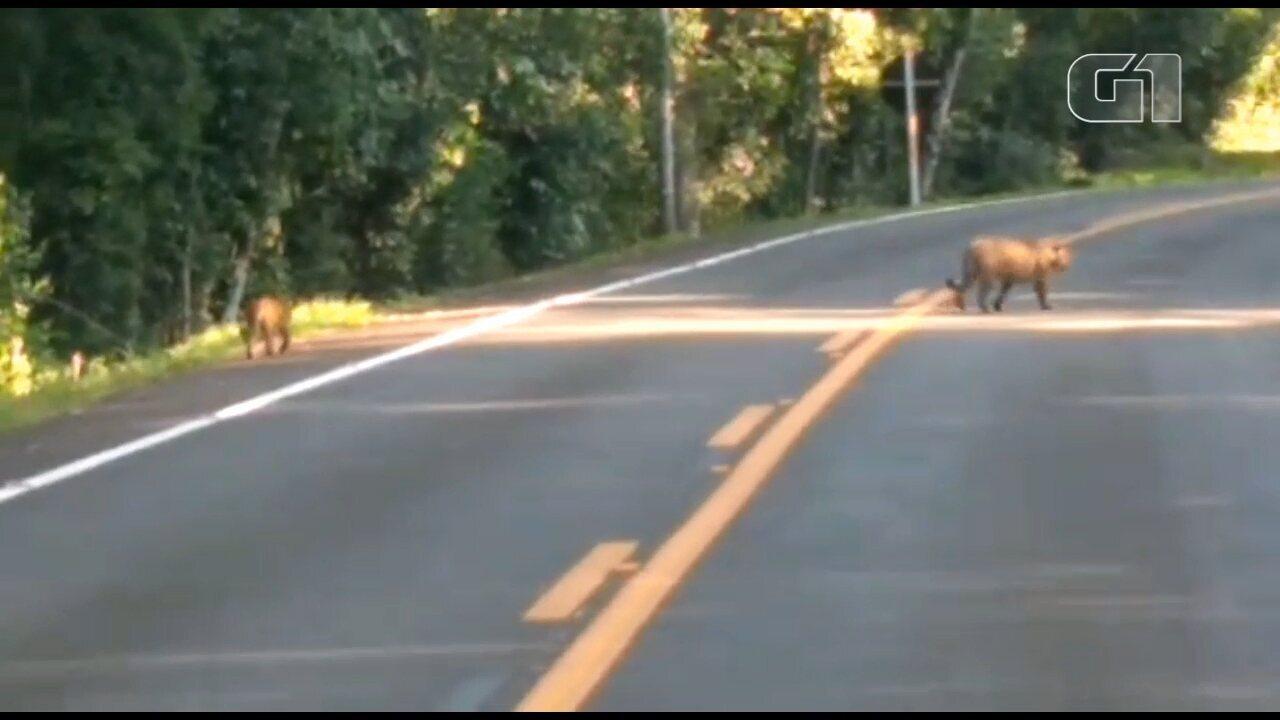 Vídeo registra onça e filhotes passeando no Parque Nacional do Iguaçu