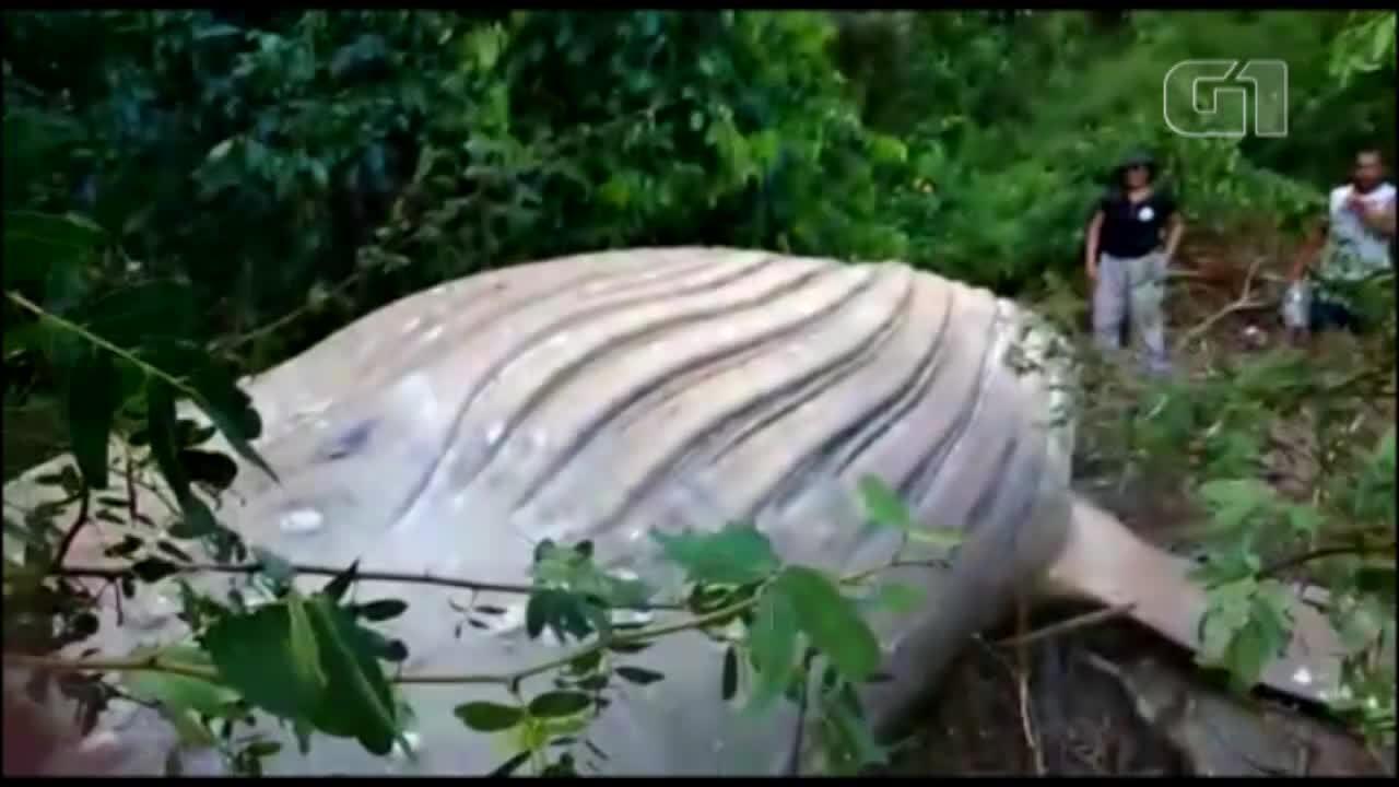 Baleia é encontrada em área de mata do município de Soure, no Marajó