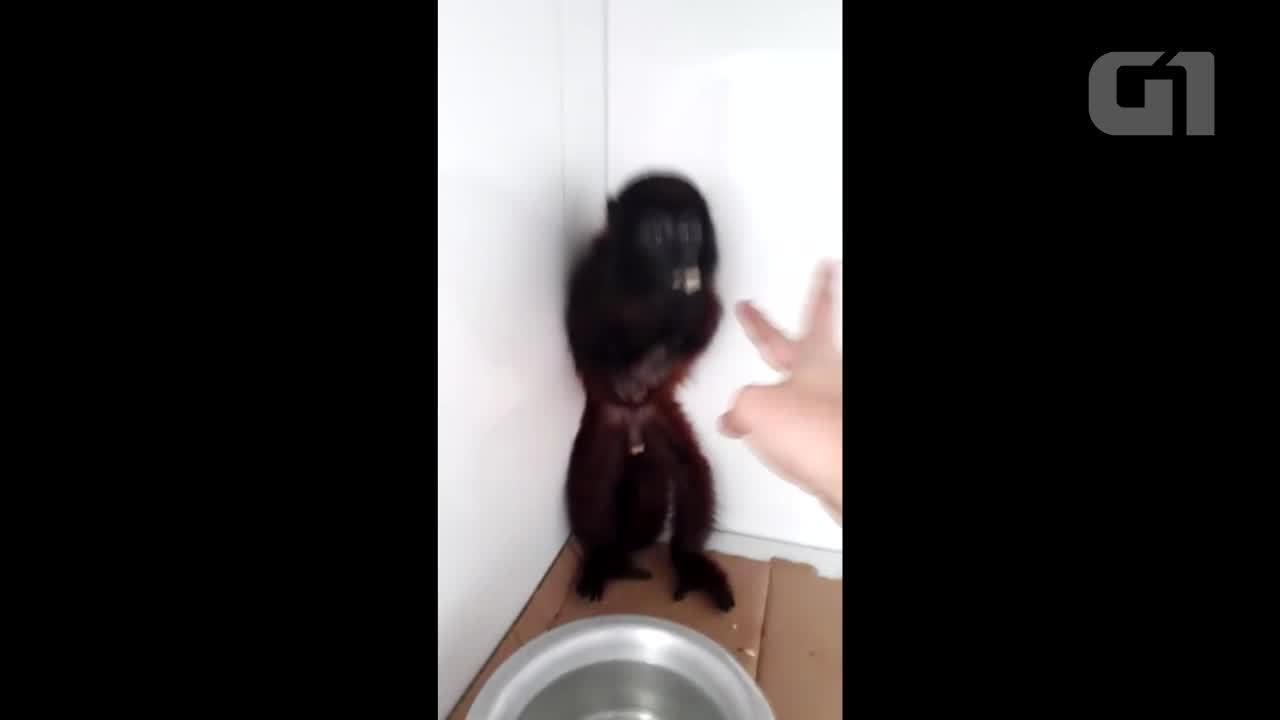 Macaco que teve mãos amputadas passa por processo de recuperação em Cacoal, RO