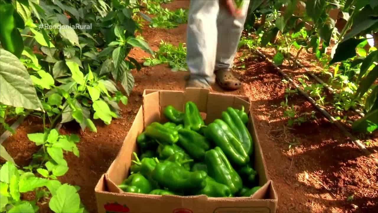 Parte 1: A produção de pimentão em Vilhena é a maior de Rondônia