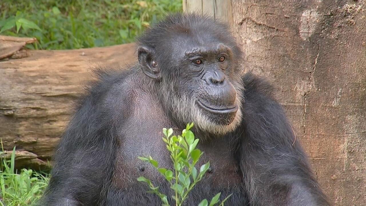 Transferência do chimpanzé Black acontece na próxima segunda-feira