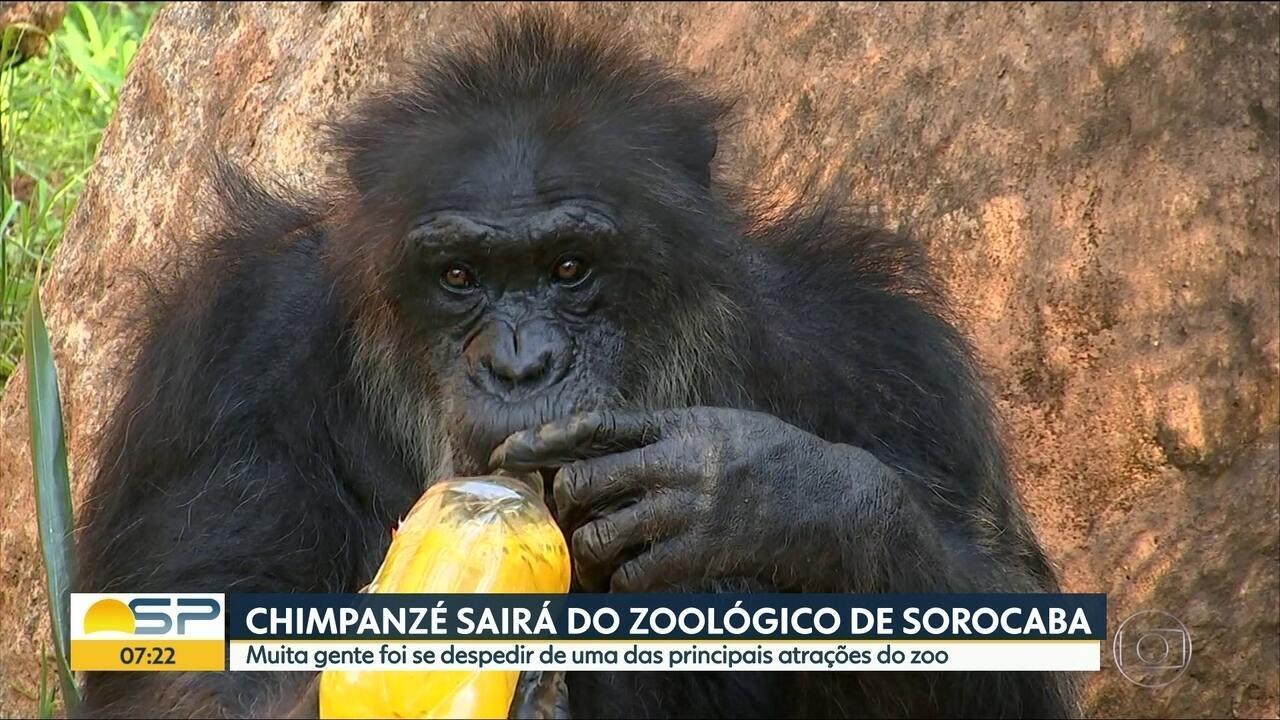 Chimpazé Black deixa Zoológico de Sorocaba