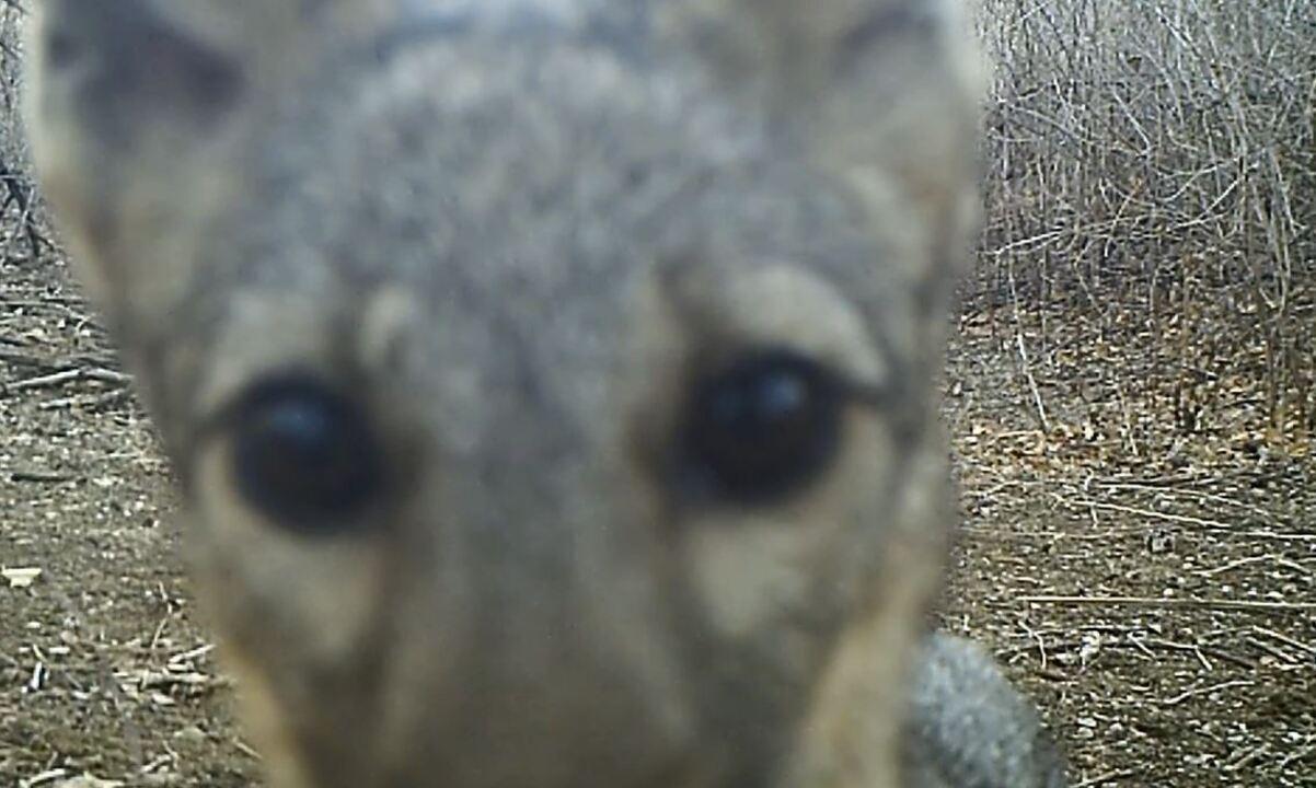 Raposa, tamanduá-mirim e veado-catingueiro foram registrados