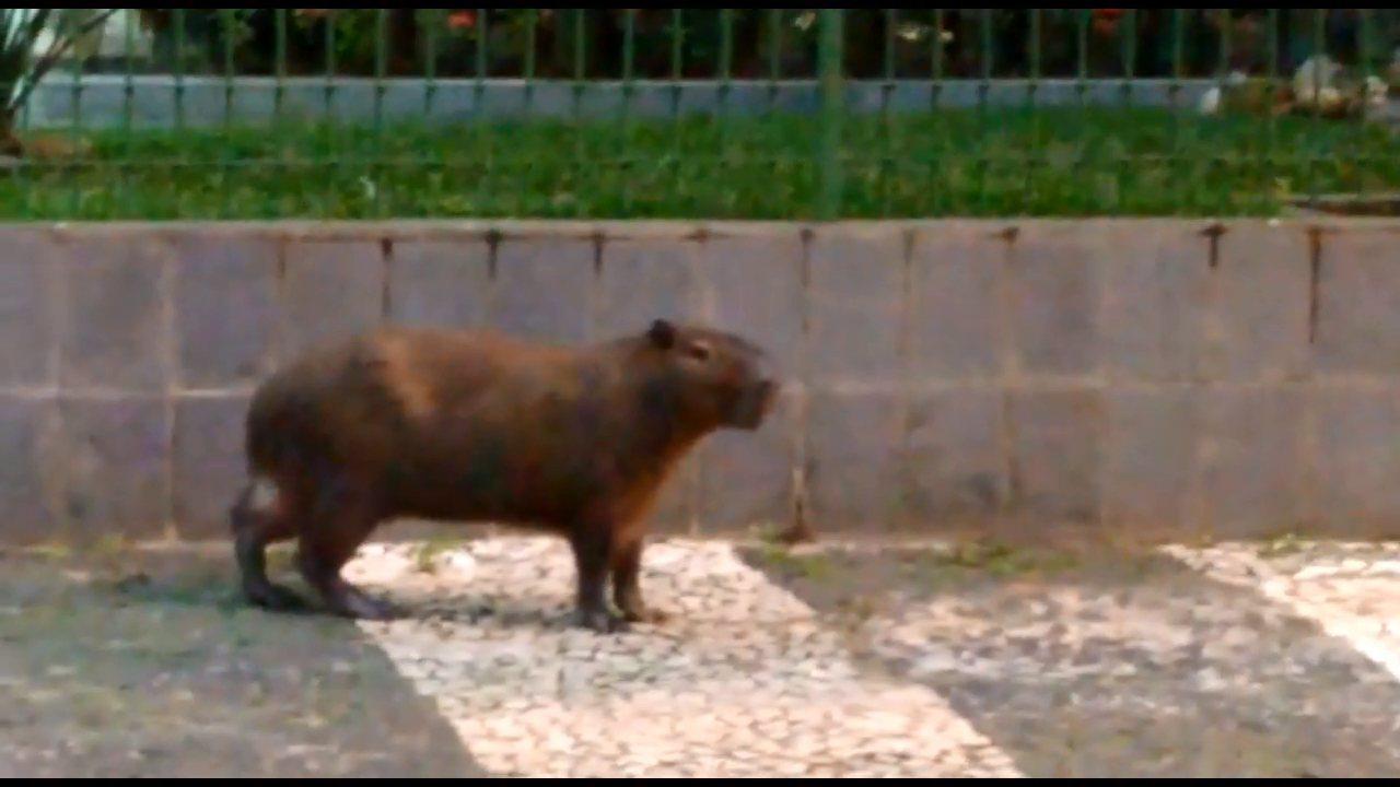 Capivara é flagrada em 'passeio' em bairro residencial de Curitiba