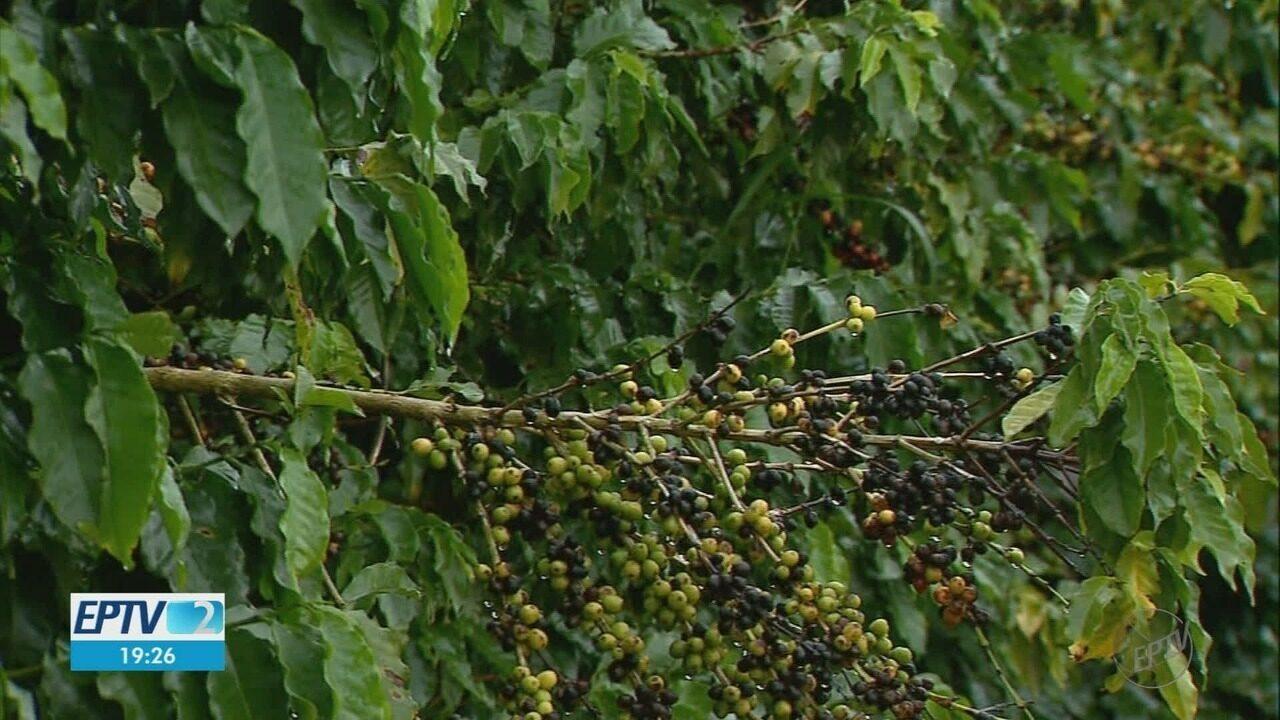 Agricultores investem em segurança para evitar roubos de café na região de Franca, SP