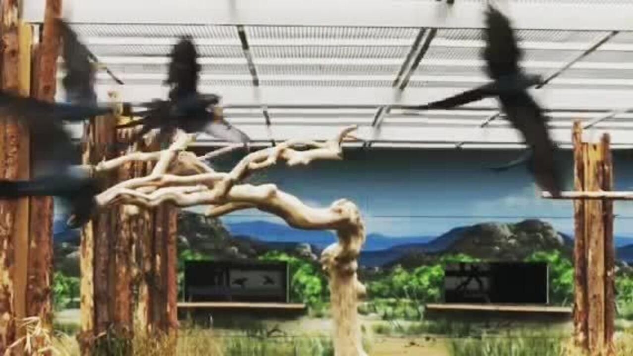 Imagens feitas pela ONG alemã Association for the Conservation of Threatend Parrots (ACTP) mostram Ararinhas-azuis que serão 'repatriadas' para o Brasil
