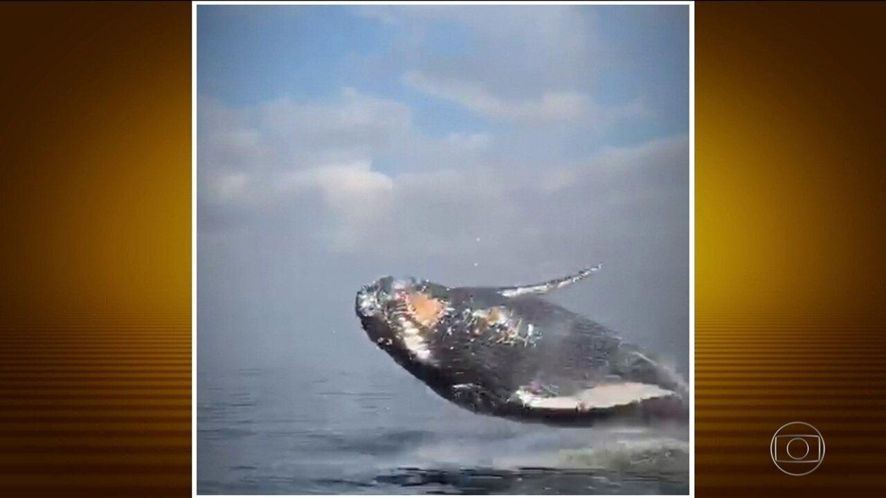 Remadores flagram baleia Jubarte no Rio de Janeiro e registram belas imagens