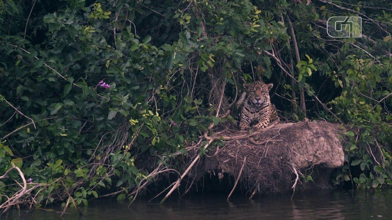 Turismo para ver onças no Pantanal gera empregos e preserva os animais