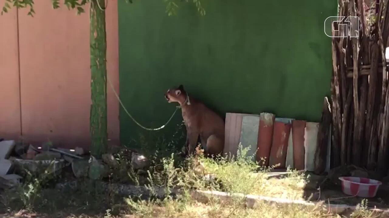 Onça-parda é capturada por moradores em Reriutaba, no Ceará