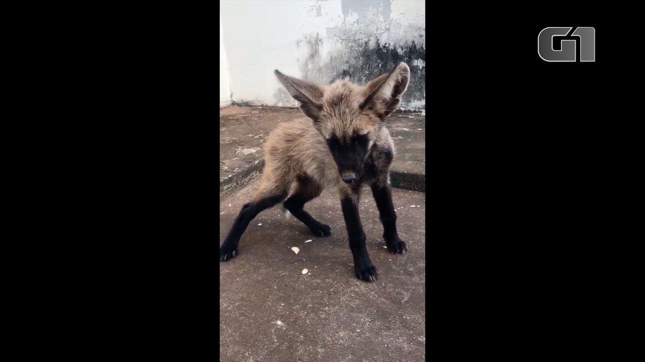 Filhote de lobo-guará é encontrado perdido em pasto de fazenda