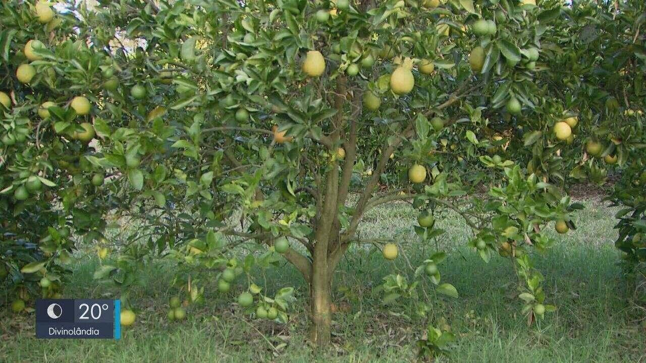 Greening na laranja cresce pelo terceiro ano consecutivo, aponta Fundecitrus
